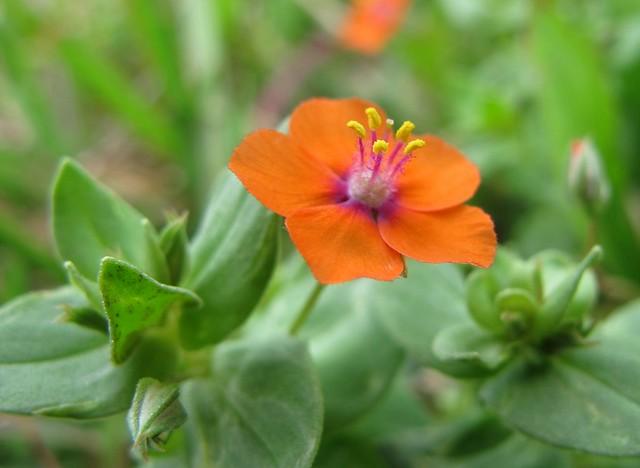 Scarlet Pimpernel | Flickr - Photo Sharing!