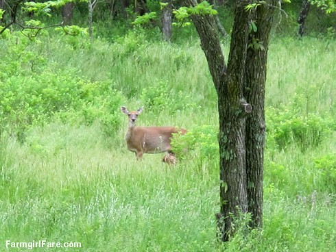 (27-10) Doe and her tiny fawn in the hayfield - FarmgirlFare.com