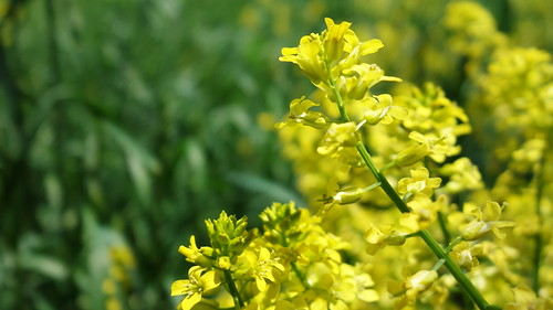 flowers flower green nature yellow sony 菜の花 rx100 tenderstembroccoli