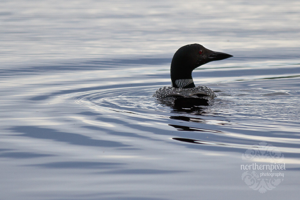 Loon at Bednesti Lake