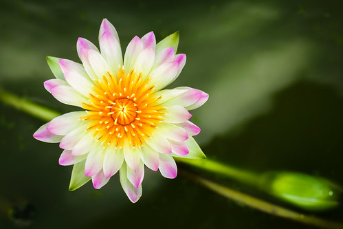 pink summer white lake plant flower color detail cute green nature water beautiful beauty up yellow closeup female garden asian happy leaf flora waterlily lily close natural little lotus blossom background space small romance petal tropical bloom casual aquatic botany copy