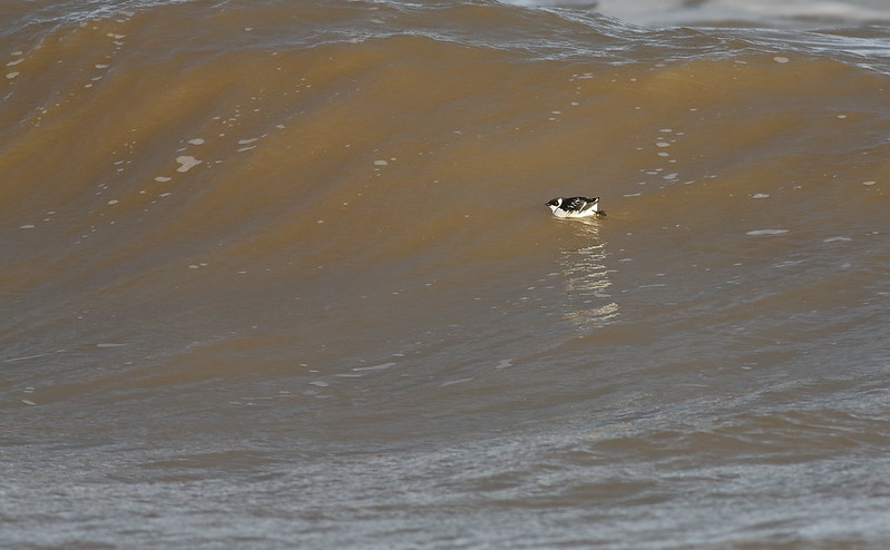 Little Auk in big surf