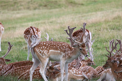 Deer at Dyrham