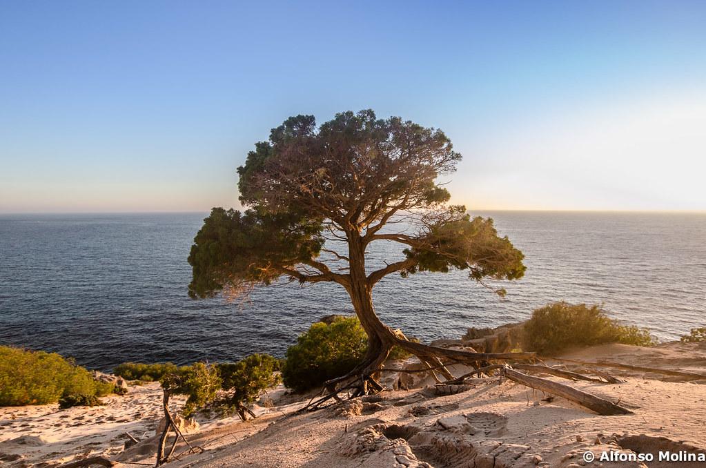 Os presento a mi árbol favorito de Ibiza