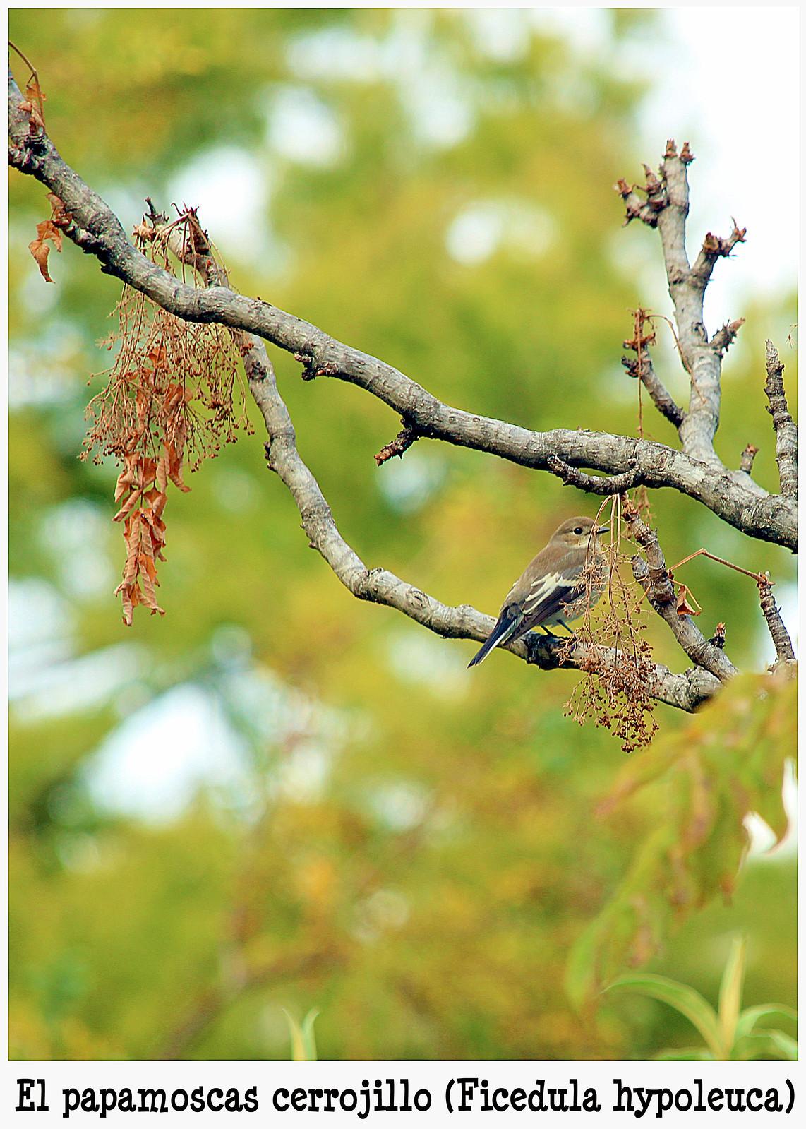 El papamoscas cerrojillo (Ficedula hypoleuca)