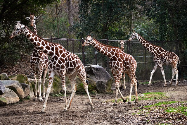 Column of Giraffes