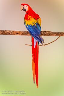 Scarlet Macaw_1