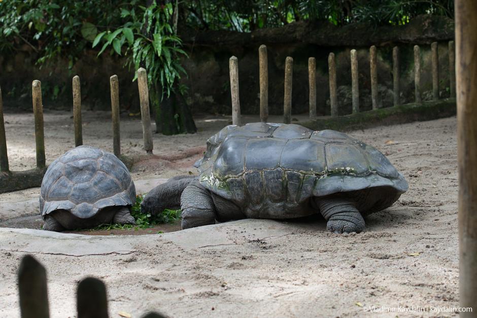 гигантские черепахи в сингапуре