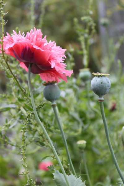 20140819_0821-pink-poppies