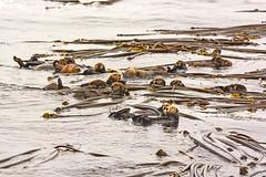 Wildlife in British Columbia, Canada: Sea Otter