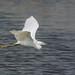 Garceta común / Little egret / Egretta garzetta
