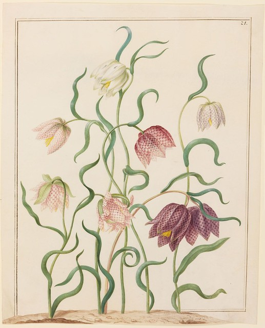 Vritilaria (Schachblume)