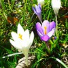 The crocuses look even better with the sun on them.