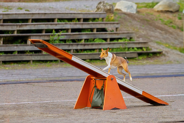 Smooth Collie on an agility hurdle