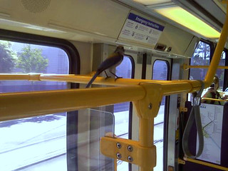 Western Scrub-Jay (Aphelocoma californica), on a MAX Train