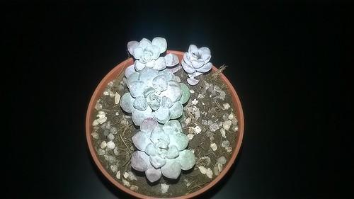 Sedum spathulifolium 16813321935_2e55e5fdc8