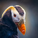 Tufted Puffin by West Leigh