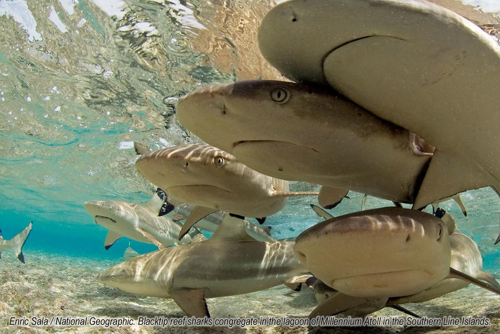 Black Tip Reef Sharks (Enric Sala/National Geographic)