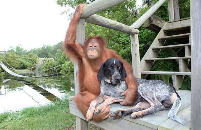 unusual-animal-friendship-orangutan-dog__700