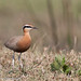 uttampegu posted a photo:	Indian Courser is resident, highly camouflage bird, found in dry grass near wetlands. Very difficult to spot one