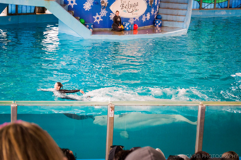 Beluga Whale and Trainer at Sea World San Antonio
