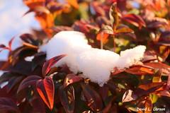 Snow On Nandina