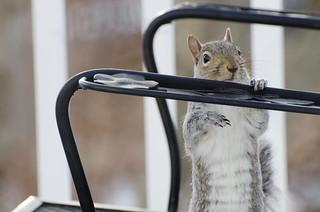 Squirrel arms