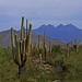 Saguaro Forest And Four Peaks