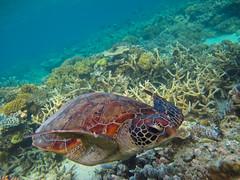 Turtle_ocean