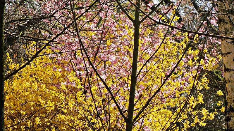 Sakura at Japanese Garden, Hasselt, Belgium