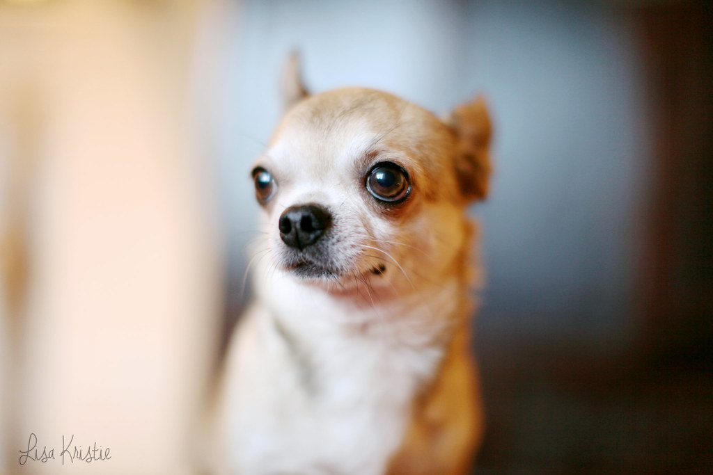 wolfthedog chihuahua portrait closeup face male adult breeder smooth coat short haired tan cream brown white black cute adorable tiny small dog breed canon 5D Markii home big eyes
