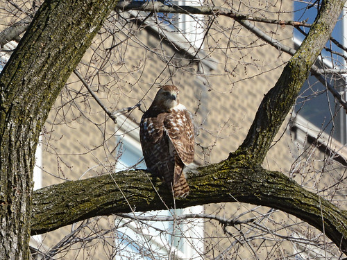 Riverside Red-Tail - 5115