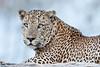 Yala Leopards