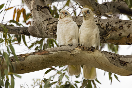 Little Corella 2015-02-22 (_MG_1471)