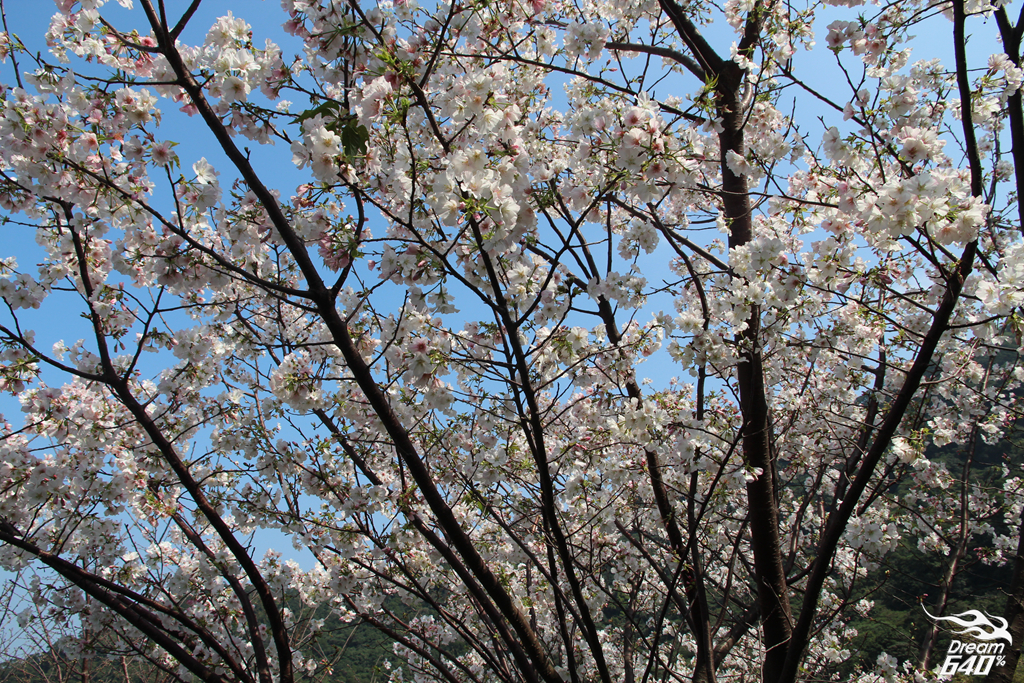 2015楓樹湖木蓮花20