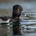 Ring-necked Duck (Aythya collaris) by ER Post