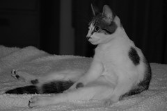 قطتي باللونين الأبيض والأسود