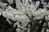 Photo:plum-blossom By cotaro70s