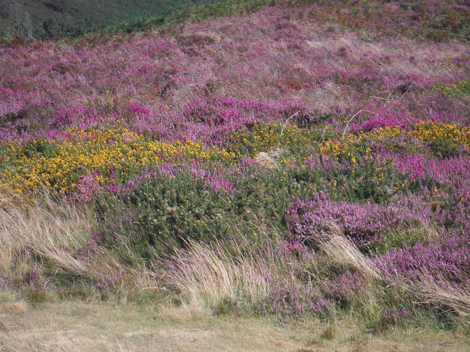 Heather on Black Down SWC Walk 275 Dorchester South Circular or to Portesham