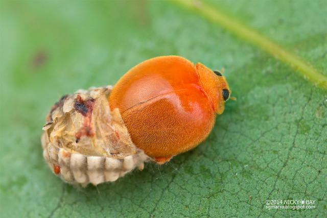 Ladybird (Coccinellidae) - DSC_4592