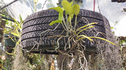 Cattleya Orchid Mounted On Tire