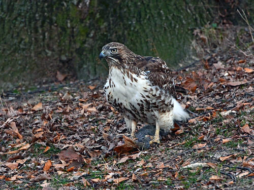Juvenile Red-Tail - 4582