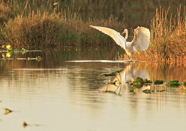 Great Egret in golden morning light 3-20150105