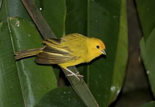 Saffron Finch -----Sicalis flaveola