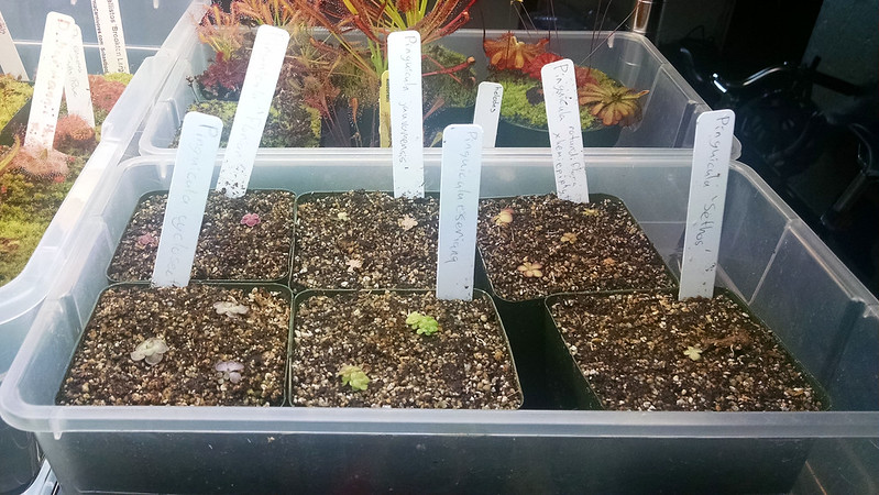 Pinguicula start tray.