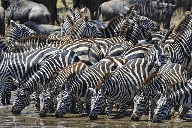 Cebras bebiendo en el Serengueti, Tanzania.