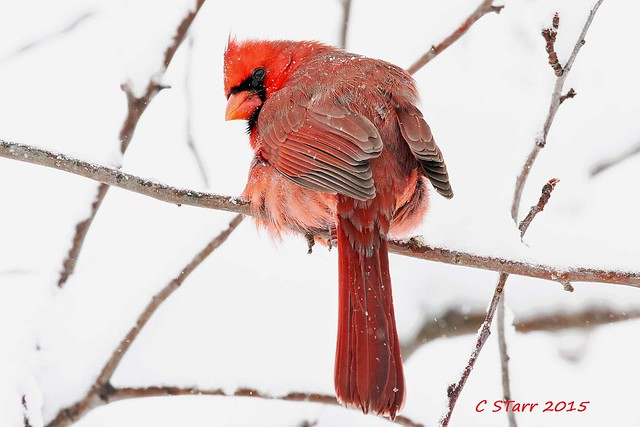 199 male red cardinal