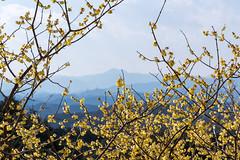 駒高地区の蠟梅