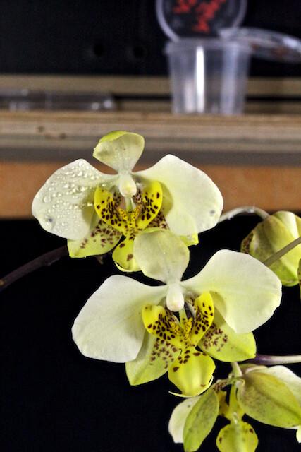 Phalaenopsis stuartiana v.nobilis 16604811477_9b1f2858d5_z