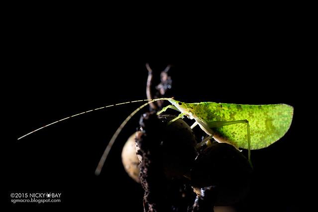 Katydid (Tettigoniidae) - DSC_3773